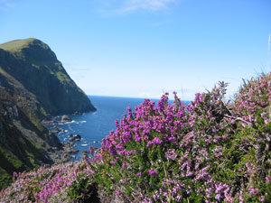 Wild Heather on Clare Island